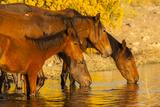Close-Up of Wild Horses Drinking from Pond  Reno  Nevada  USA