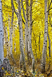 Aspen Trees Along Hwy 395/Conway Pass  California  USA