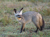 Bat-Eared Fox  Serengeti  Tanzania