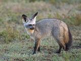Bat-Eared Fox  Serengeti  Tanzania