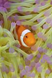 Anemonefish in Protective Anemone  Raja Ampat  Papua  Indonesia