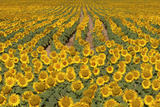 Sunflower (Helianthus Annuus)  Kansas  USA