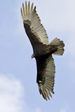 Turkey Vulture (Cathartes Aura) Searching for Food  Texas  USA