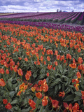 Orange and Purple Tulips  Skagit Valley  Washington  USA