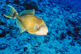 Yellowmargin Triggerfish  Blue Corner  Palau  Micronesia