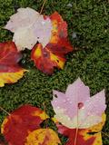 Red Maple Leaves  Shenandoah National Park  Virginia  USA