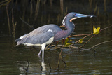Tri-Colored Heron (Egretta Tricolor) Fishing on the Coast  Texas  USA