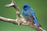 Male Indigo Bunting  Close-Up