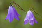 Harebell  White River National Forest Colorado  USA