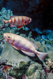 Pair of Goggle-Eyes Fish in Barnum Wall  Palau  Micronesia