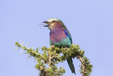 Lilac-Breasted Roller with a Walking Stick Insect  Serengeti  Tanzania