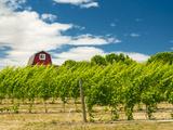 Red Barn at Va Piano Vineyards  Walla Walla  Washington  USA