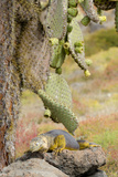 Land Iguana under Prickly Pear Cactus  South Plaza Island  Ecuador
