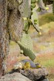 Land Iguana under Prickly Pear Cactus  South Plaza Island  Ecuador