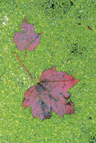 Maple Leaves in Duckweed  Adirondack Park  New York  USA