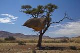 Sociable Weavers Nest  Namib Desert  Southern Namibia
