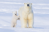Polar Bear with Spring Cub  ANWR  Alaska  USA
