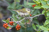 Tennessee Warbler (Vermivora Peregrina) on Fiddlewood  Texas  USA