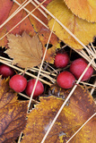 Downy Hawthorn Leaves  Berries  John a Finch Arboretum  Washington Usa