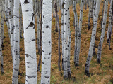 Aspen Trees  Uinta-Wasatch-Cache National Forest  Utah  USA