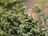 Olympic Chipmunk (Tamias Amoenus Caurinus) in Conifer  Washington  USA