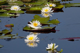 Fragrant Water Lily (Nymphaea Odorata) on Caddo Lake Texas  USA