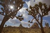 Joshua Trees  Queen Valley  Joshua Tree National Park  California  USA