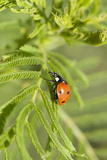Lady Bug (Coccinella Magnifica)  Kansas  USA