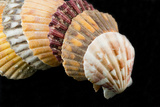 Detail of Seashells from around the World on Black Background