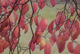 Dogwood Leaves  Spokane County  Washington  USA