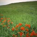 Butterfly Weed  Konza Prairie Natural Area  Kansas  USA