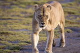 Lion  Serengeti  Tanzania
