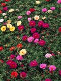 Portulaca Sundial Flower Mixture  Louisville  Kentucky  USA