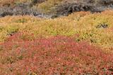Galapagos Carpetweed  Garua Season  South Plaza Island  Ecuador