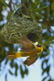 Southern Masked Weaver at Nest  Etosha National Park  Namibia