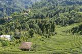Tea Fields in Rize  Black Sea Region of Turkey