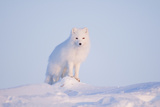 Arctic Fox Adult Pauses on a Snow Bank  ANWR  Alaska  USA
