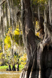 Bald Cypress Closeup  Lake Fausse Point State Park  Louisiana  USA