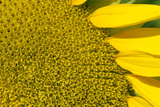 Sunflower (Helianthus Annuus)  Kansas  USA