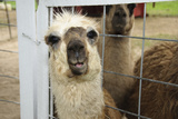 Llama (Lama Glama) Looking into Camera