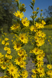 Maximilian's Sunflower (Helianthus Maximiliani) in Bloom  Texas  USA