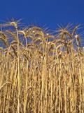 Yamhill County  Close-Up of Tall Wheat Stalks  Oregon  USA