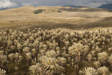Frailejones' Pants in El Angel Ecological Reserve  Andes  Ecuador
