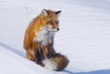 Red Fox (Vulpes Vulpes) Adult Rests on a Snow Bank  ANWR  Alaska  USA