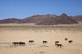 Wild Horses  Garub  Namib-Naukluft National Park  Near Aus  Namibia