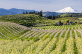 Pear Orchards Blooms with Mount Adams  Oregon  USA