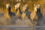 Seven White Camargue Horses Running in Water  Provence  France
