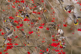 Bohemian Waxwings Feeding on Mountain Ash Berries  Montana  USA