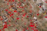 Bohemian Waxwings Feeding on Mountain Ash Berries  Montana  USA