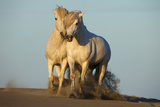 Two White Camargue Horses Trotting in Sand  Provence  France